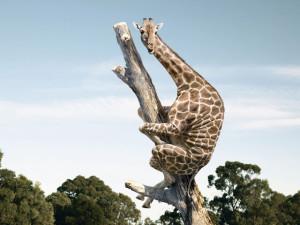 grappige-hd-achtergrond-met-giraffe-in-een-boom