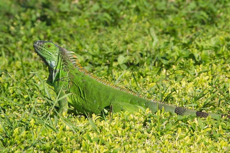 Green-Iguana-20141030-_ALL7272