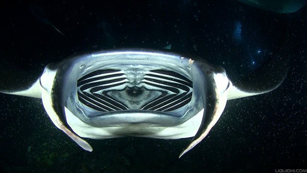 Manta Ray Mouth