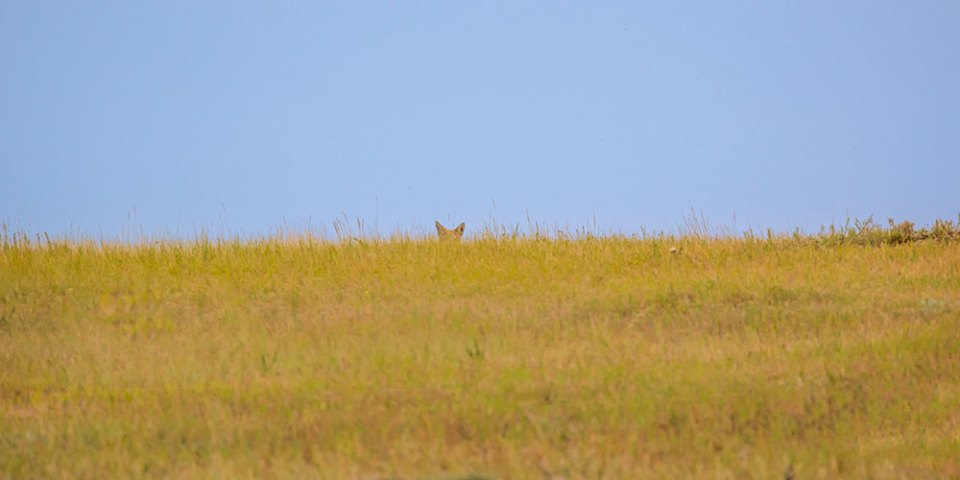coyote peeking