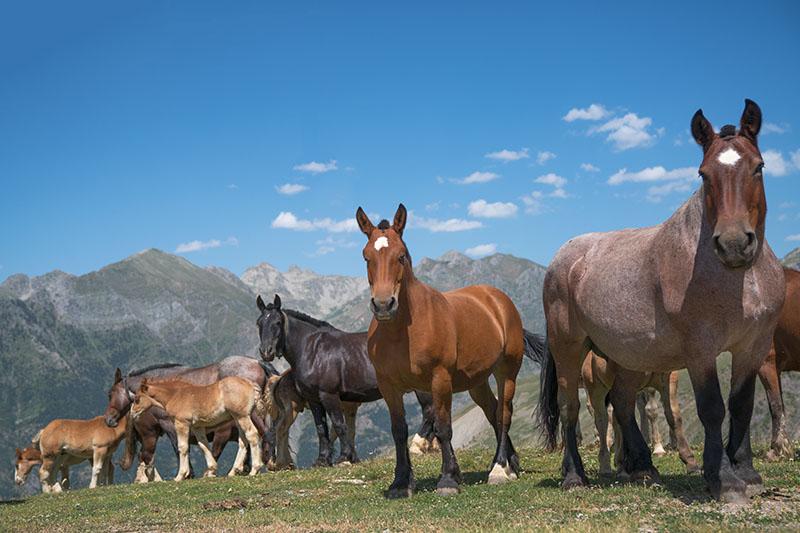 Pyrenees Horses