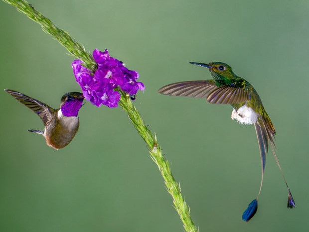 Purple-throated Woodstar & a Booted Rocket Tail