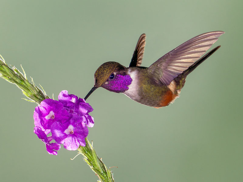 Purple-throated Woodstar (Male)