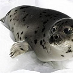 Harp Seal Life Cycle Diagram Dayton Thermostat Wiring About Seals Harpseals Org Beater Pup Photo Paul Darrow Reuters 2008