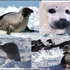 Harp Seal Life Cycle Diagram 2007 Nissan Altima Radio Wiring About Seals Harpseals Org Are Beautiful In Their Natural Habitat