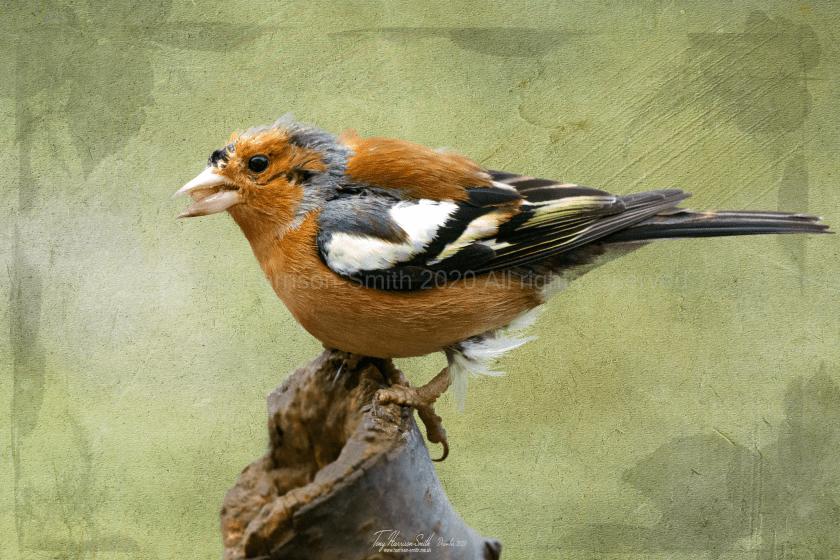 Chaffinch feeding