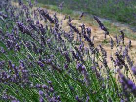Lavender Farm 26