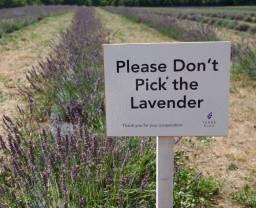 Lavender Farm 33