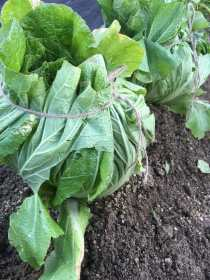 Chinese cabbage tied up against the cold.