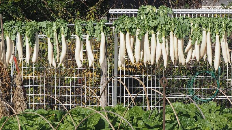 Daikon – Japan's Celebrated Winter Radish Warms up Winter