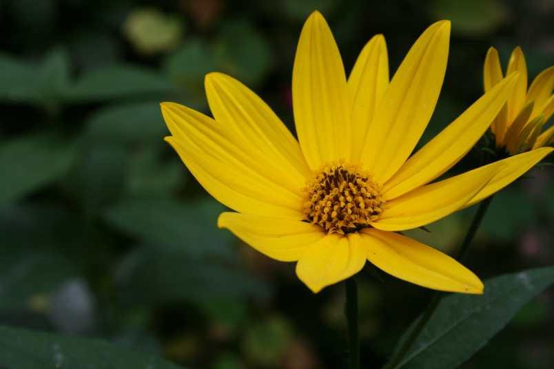 Sunchoke blossom