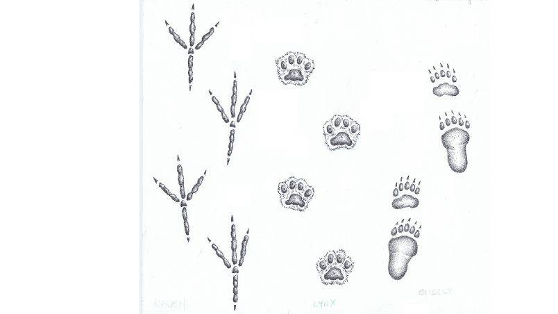 Animal Tracks by Harrowsmith Mag