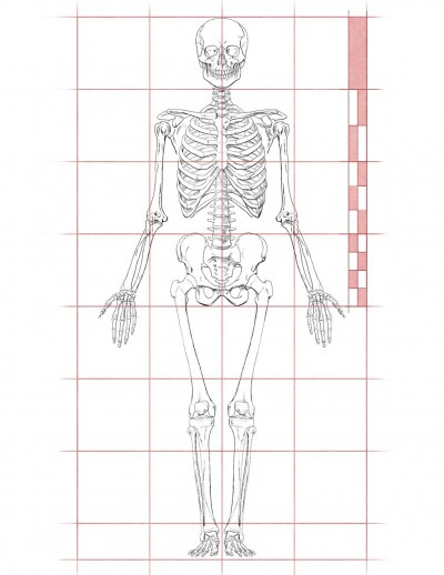 Body Of Sternum Diagram Human Proportions For Figure Drawing