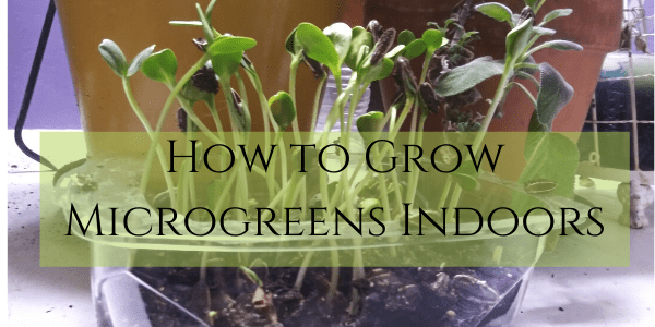 How to Grow Microgreens Indoors Without Soil – Winter Nutrition