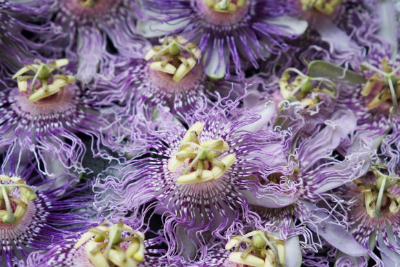 Passionflower is a wonderful herb for immunity.