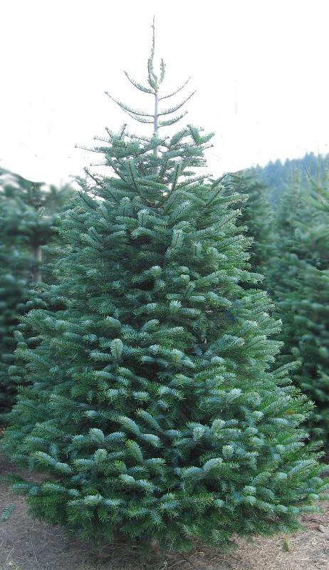 Harveys Harvest Christmas Trees