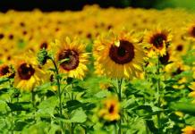Haryana to start sunflower procurement soon