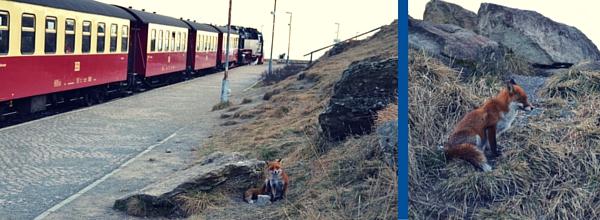 Der Fuchs ist auf dem Brocken oft anzutreffen ©Alina Lipka