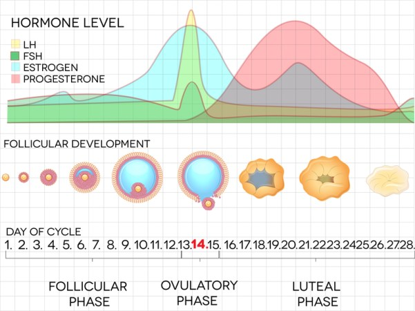 Female menstrual cycle, ovulation process and hormone levels, detailed medical illustration.