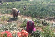 عاملات الزراعة بالأغوار: لا تأمينات وأجور زهيدة