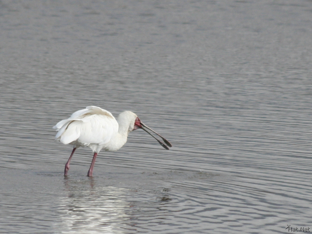 spoonbill : Story of Africa