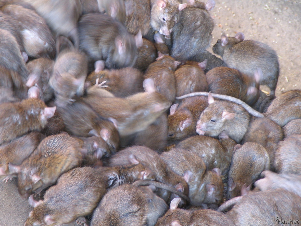 1000 rats can breed 10,000 rat babies!!!