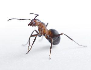 Ameisen in Wohnung  Haus bekmpfen Hausmittel Essig