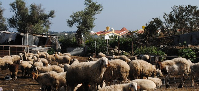 Ozanköy'de villalarla ağıllar iç içe