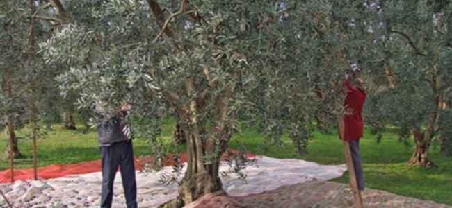 Gazimağusa'da zeytin toplama tarih belli oldu