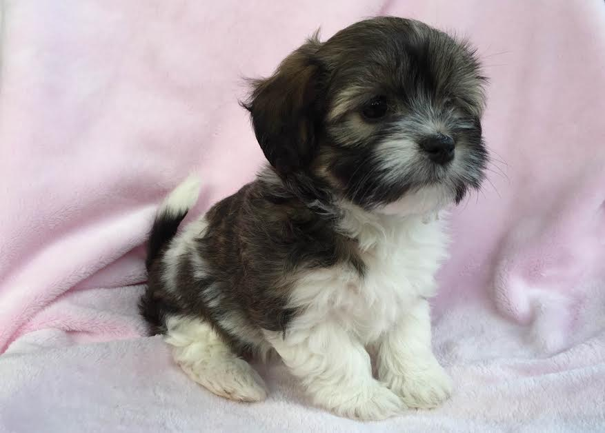 Havanese Puppies For Sale In Miami