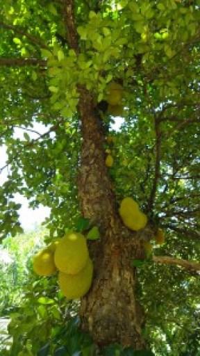 Jackfruchtbaum mit großen und stachligen Früchten