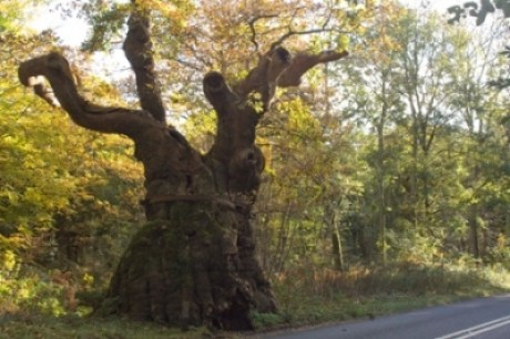 Big Bellied Oak, Wiltshire Photograph: Isobel Cameron/Forestry Commission