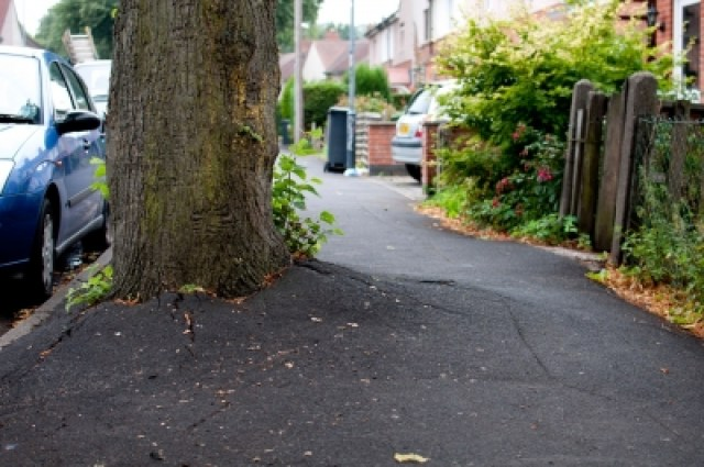 Lime tree roots forcing up tarmac. The proposal to fell 11 of them on Rustling Road has sparked a major dispute