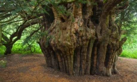 The Ankerwycke or Magna Carta yew near Runnymede, Windsor is one of the Woodland Trust's top 10 trees in England and is thought to have witnessed signing of the Magna Carta in 1215. Photograph: Oxford Scientific/Getty Images