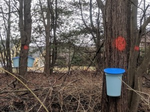 Maple Buckets Hanging
