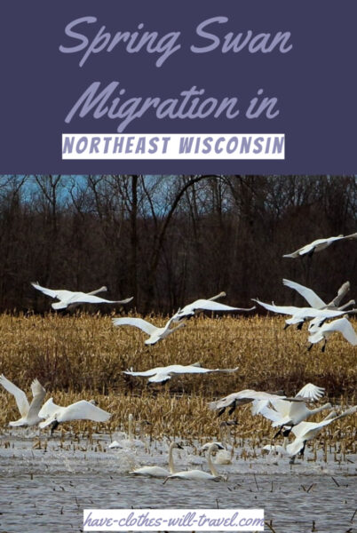 swan migration in Shiocton, Wisconsin