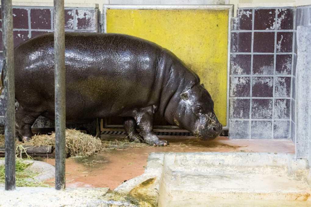 Pygmy hippo Ueno Zoo