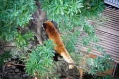 Red Pandas Ueno Zoo