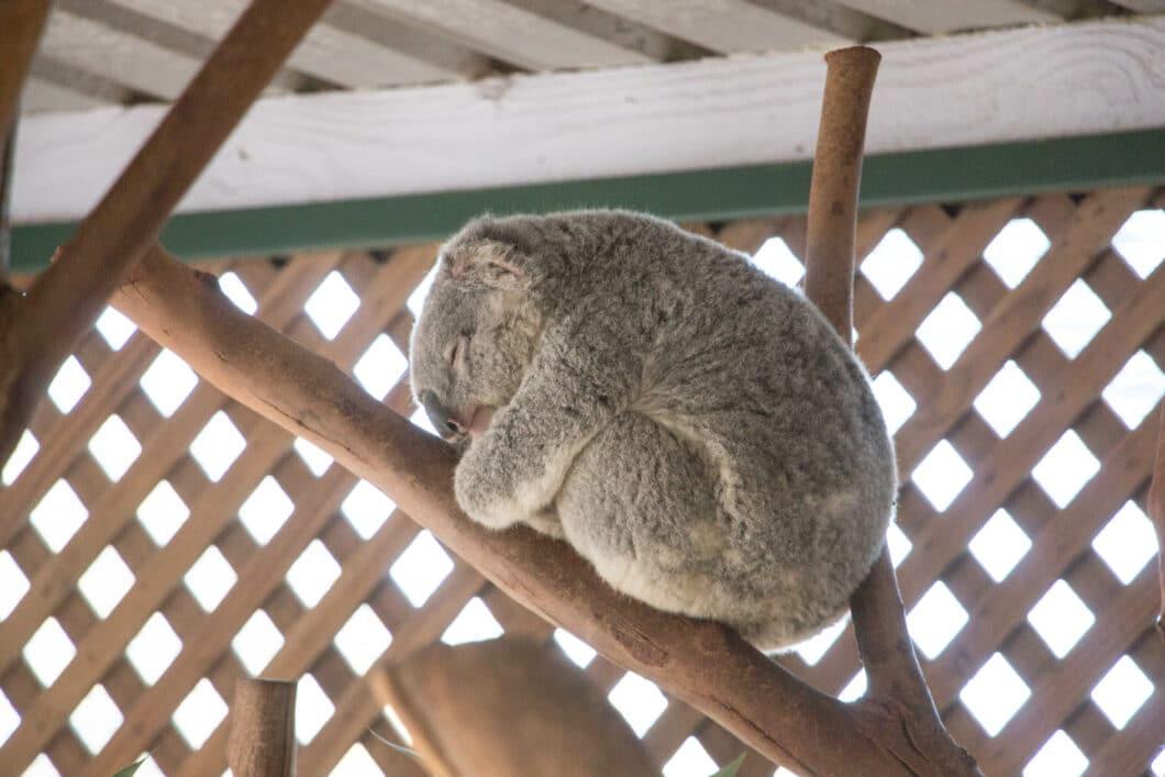 napping koala