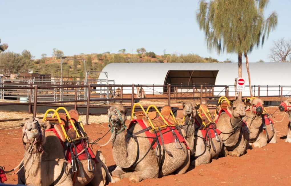 uluru camel ride