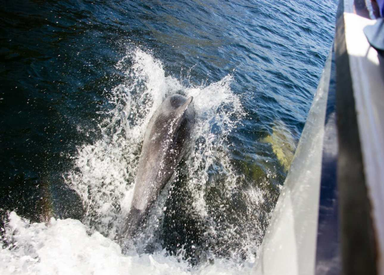 dolphin Milford Sound
