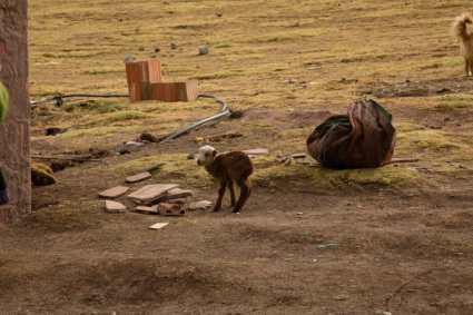A baby llama along the way.