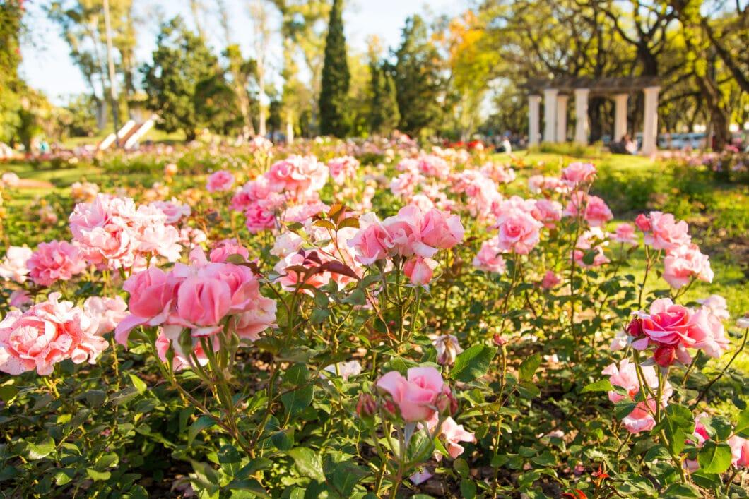 Roses in Rosario