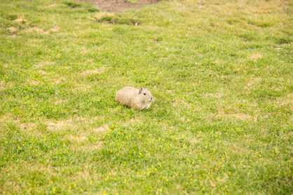 A wild guinea pig at our hotel.