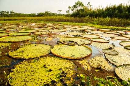 Giant lily pads in the Amazon