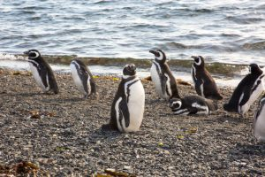 Penguins Martillo Island