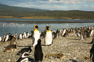 King Penguins, Martillo Island