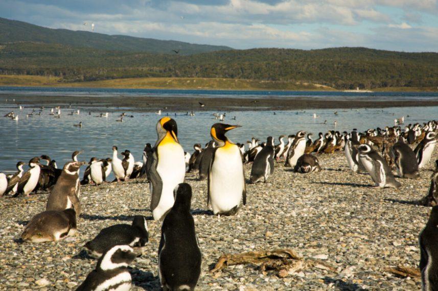 King Penguins, Martillo Island