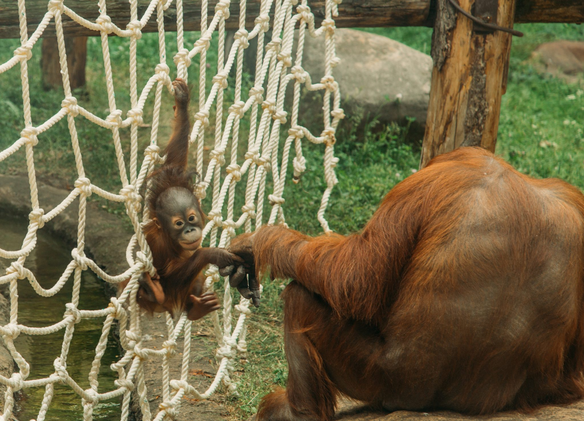 An adorable baby orangutan plays while holding its mother's hand - Moscow zoo in Russia
