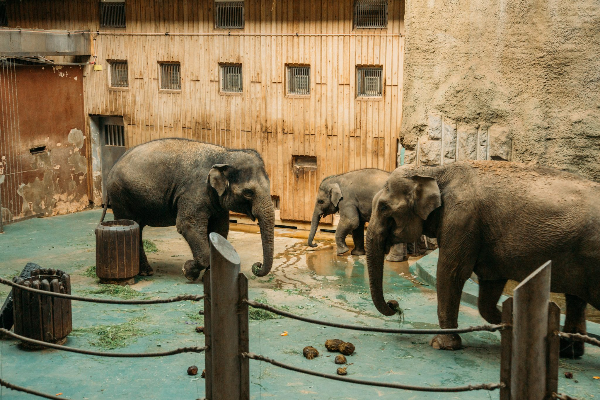 Elephants at the Moscow Zoo during their feeding time